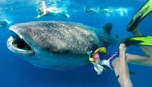 Tour guiado diario Nado con Tiburón Ballena en Cancún