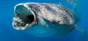 Snorkeling whale shark 2