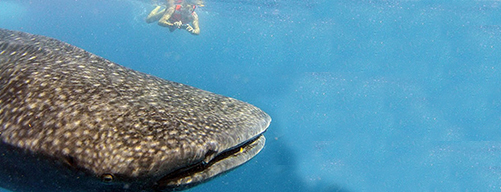 Snorkeling whale shark 3