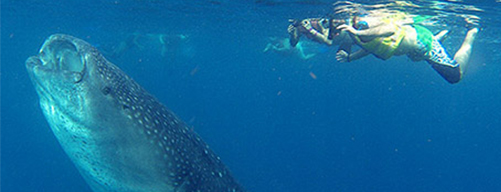 snorkeling whale shark 5