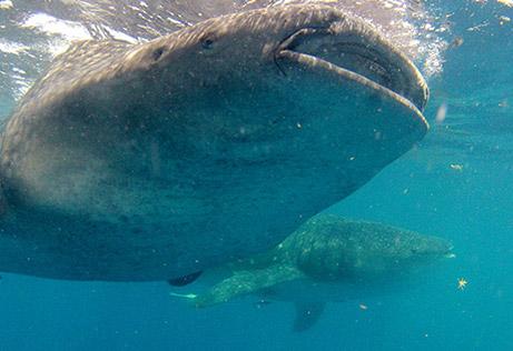 snorkeling whale shark 6