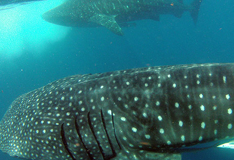 snorkeling whale shark 7