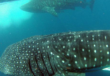 snorkeling whale shark 7