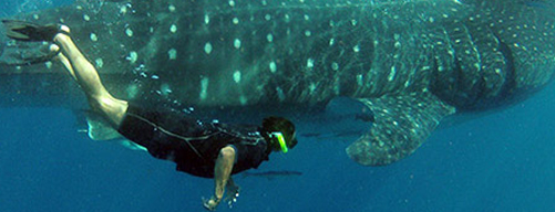 snorkeling whale shark 8