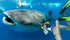 Cancun Swim With The Whale Sharks And Sea Turtles